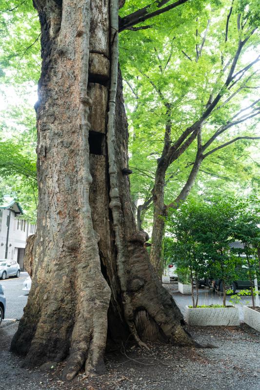 欅 老巨木の手当て_a0261169_18443332.jpg