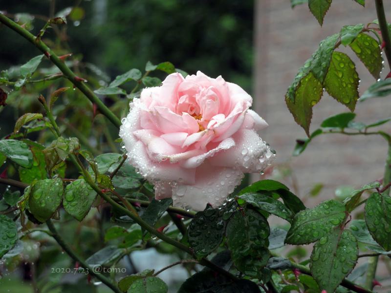 夏色花壇とシトシト雨_f0067179_22035400.jpg