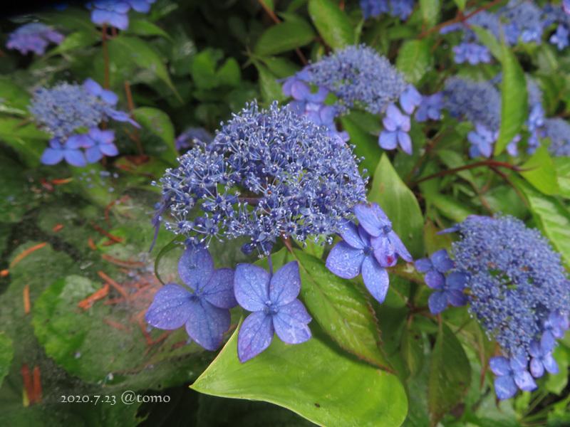 夏色花壇とシトシト雨_f0067179_22040634.jpg