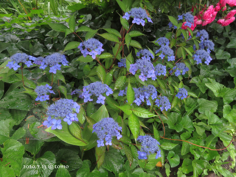 夏色花壇とシトシト雨_f0067179_22041623.jpg
