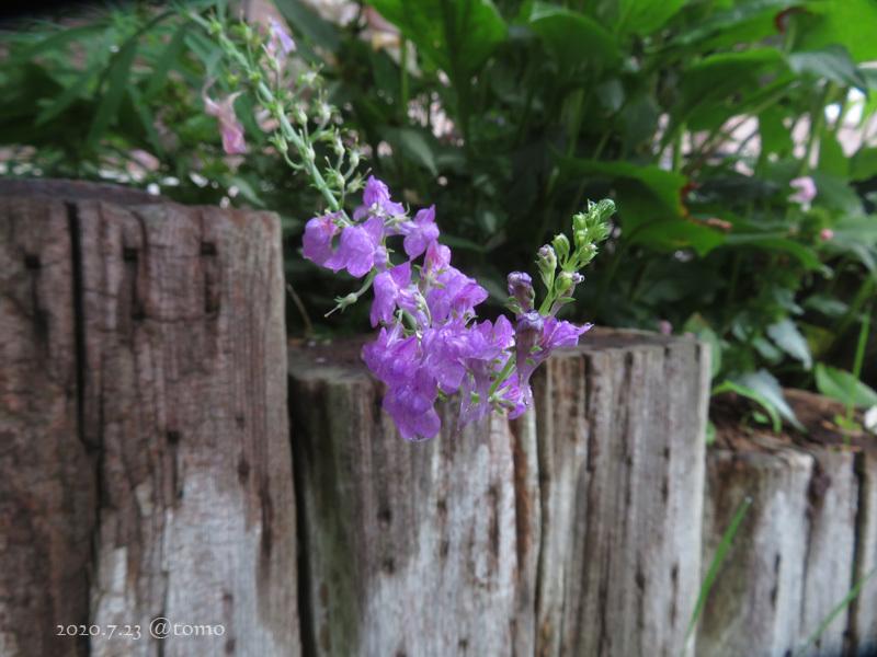 夏色花壇とシトシト雨_f0067179_22042831.jpg