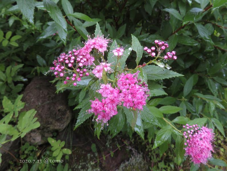 夏色花壇とシトシト雨_f0067179_22044440.jpg
