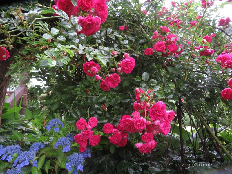 夏色花壇とシトシト雨_f0067179_22053918.jpg
