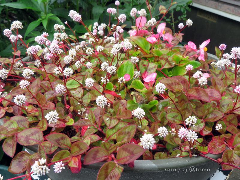 夏色花壇とシトシト雨_f0067179_22054916.jpg