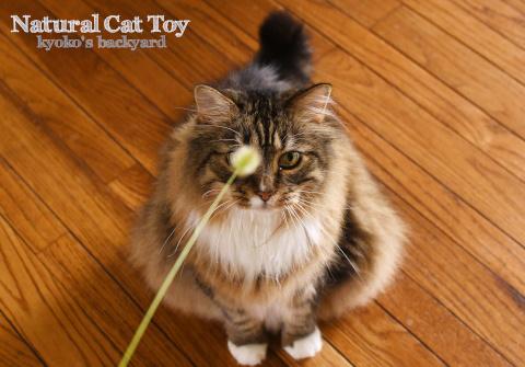 雨の日の遊びに、天然の猫じゃらしを進呈_b0253205_04342037.jpg