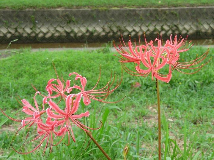 2020年7月31日 河川敷に赤い花が・・・  !(^^)!_b0341140_18523137.jpg