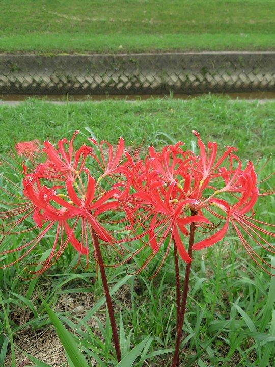 2020年7月31日 河川敷に赤い花が・・・  !(^^)!_b0341140_18525182.jpg