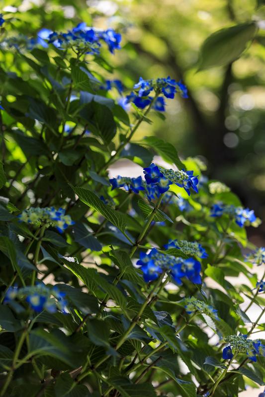 夏の花咲く勧修寺_f0155048_22362326.jpg