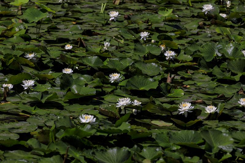 夏の花咲く勧修寺_f0155048_22363722.jpg