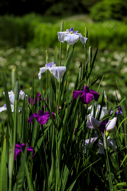 夏の花咲く勧修寺_f0155048_22372146.jpg