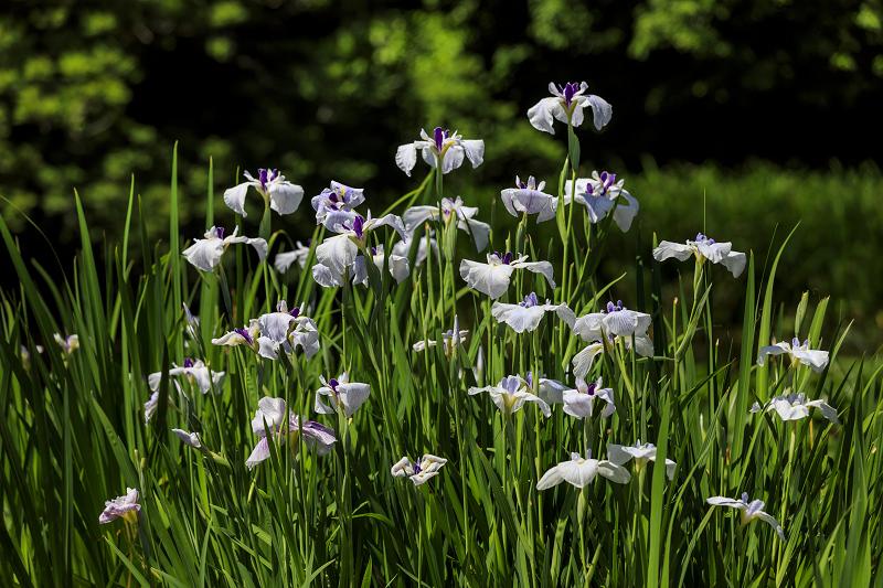 夏の花咲く勧修寺_f0155048_22375859.jpg