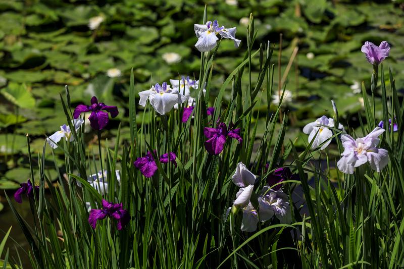 夏の花咲く勧修寺_f0155048_2238213.jpg