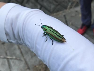 昆虫観察ウォーキング〜タマムシを見に行こう〜無事終了しました_a0247891_10445911.jpeg