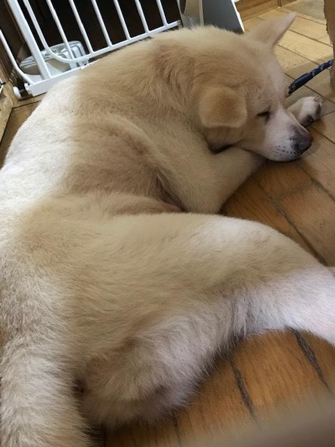 この子はショートの秋田犬_f0242002_22102173.jpg