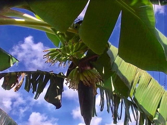 バナナの成長_e0158687_17123695.jpg