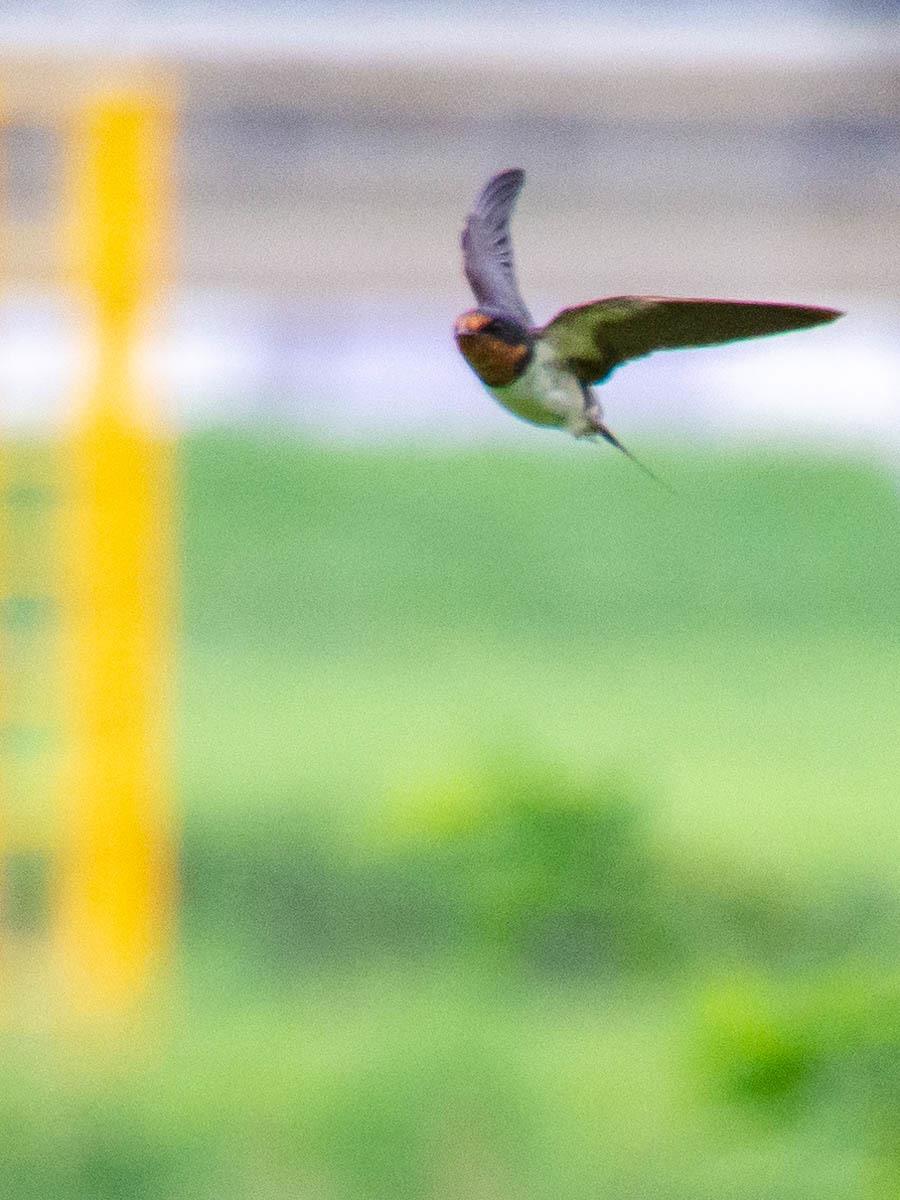 飛んでます!!  (ツバメ)  2020/07/30_d0146592_23434652.jpg