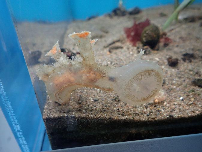 葛西の海~アマモ場の小さな生き物:謎生物すぎるムカデメリベとコシマガリモエビ(葛西臨海水族園)_b0355317_21404190.jpg