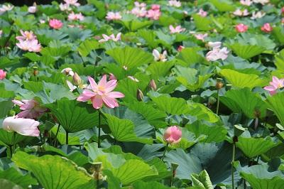 弘前公園蓮池のハスの花_2020.07.31撮影_d0131668_1137467.jpg