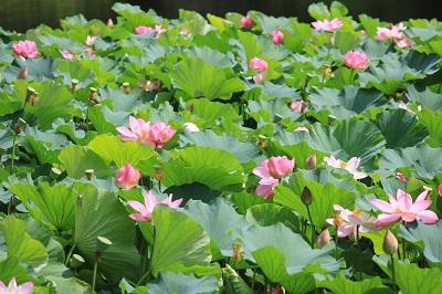弘前公園蓮池のハスの花_2020.07.31撮影_d0131668_11383989.jpg