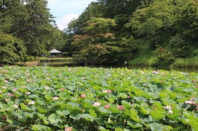 弘前公園蓮池のハスの花_2020.07.31撮影_d0131668_113899.jpg