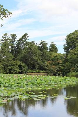 弘前公園蓮池のハスの花_2020.07.31撮影_d0131668_11391372.jpg