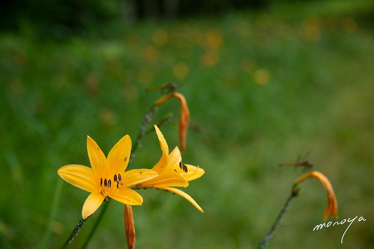 夏の高原に咲く_c0085877_06114581.jpg
