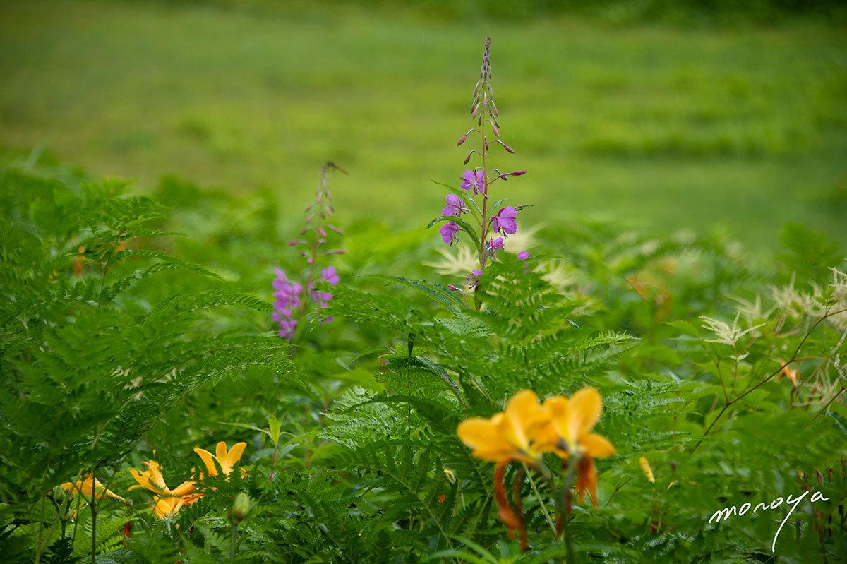 夏の高原に咲く_c0085877_06115206.jpg