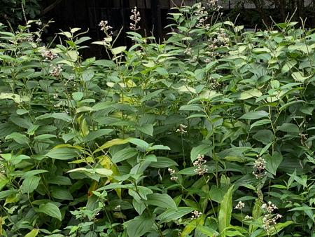 8月の庭 2020_f0239100_22292135.jpg