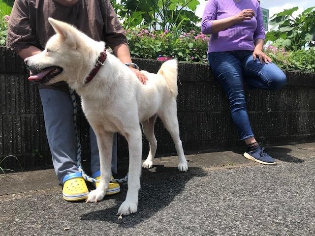 秋田犬もちこちゃんのお届け完了!_f0242002_20491819.jpg