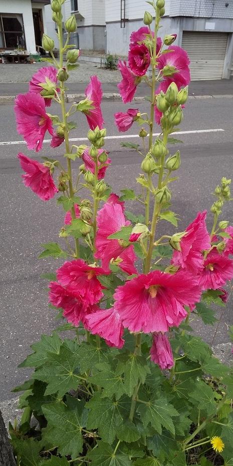 タチアオイの咲く八月_b0198109_12050138.jpg