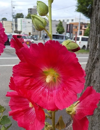 タチアオイの咲く八月_b0198109_12051881.jpg