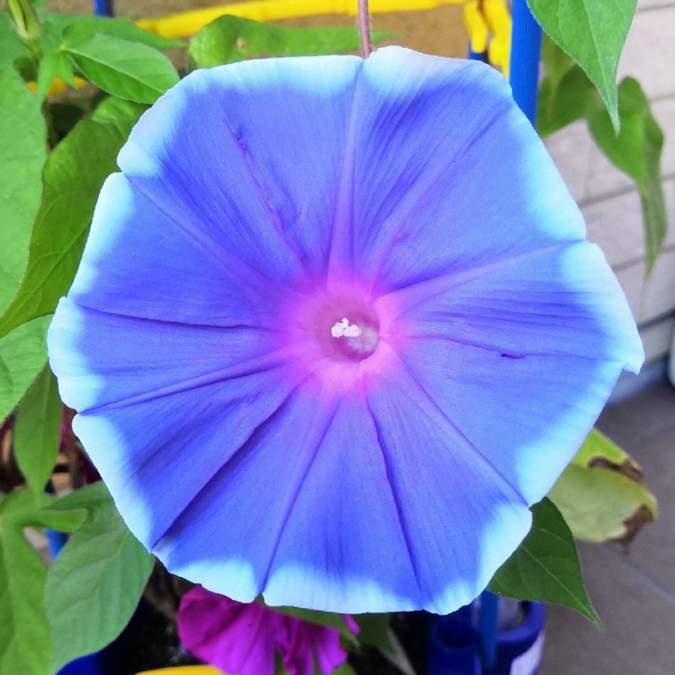 アサガオがキレイに咲いている_a0004752_16485716.jpg