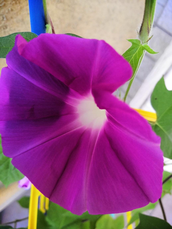 アサガオがキレイに咲いている_a0004752_16485857.jpg
