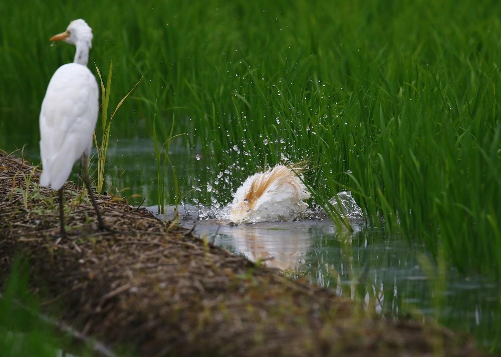 アマサギ、水浴び、_f0305401_15063938.jpg