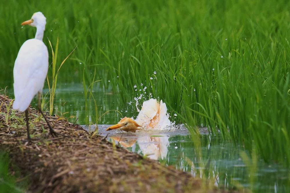 アマサギ、水浴び、_f0305401_15064590.jpg