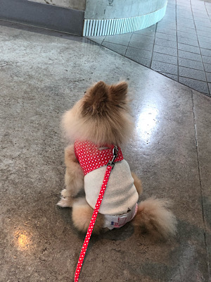 HOGO犬ひらり♡避妊手術後の抜糸でした。_f0249610_15281619.jpeg