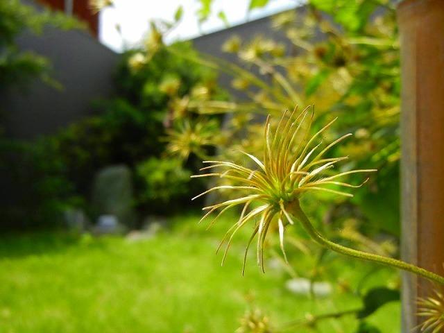 テッセンが咲いていた庭_d0206920_16415955.jpg