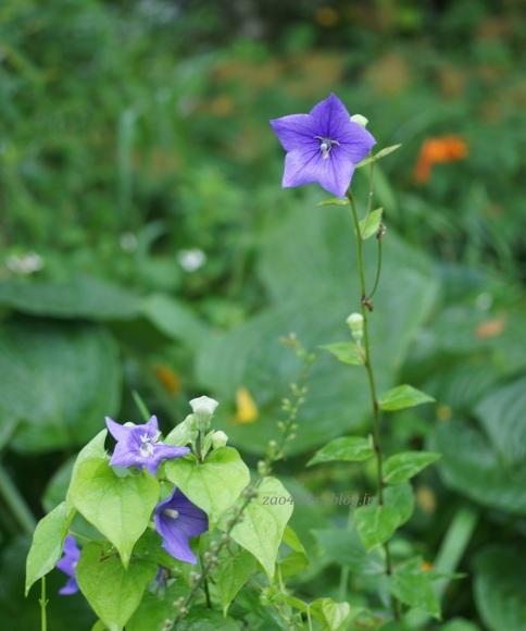 紫とピンク(^^♪_a0304423_00144668.jpg