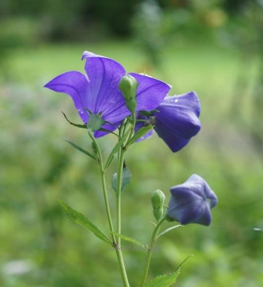 紫とピンク(^^♪_a0304423_00145392.jpg