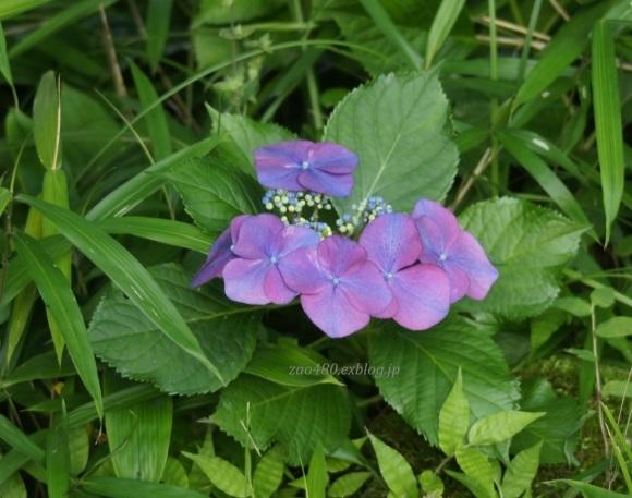 紫とピンク(^^♪_a0304423_00151644.jpg