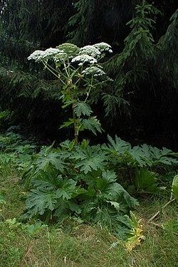 【中国からの謎の種子】その名は「ジャイアント・ホグウィード(バイカルハナウド)」。極めて危険な植物の種だった!_a0386130_18113742.jpg