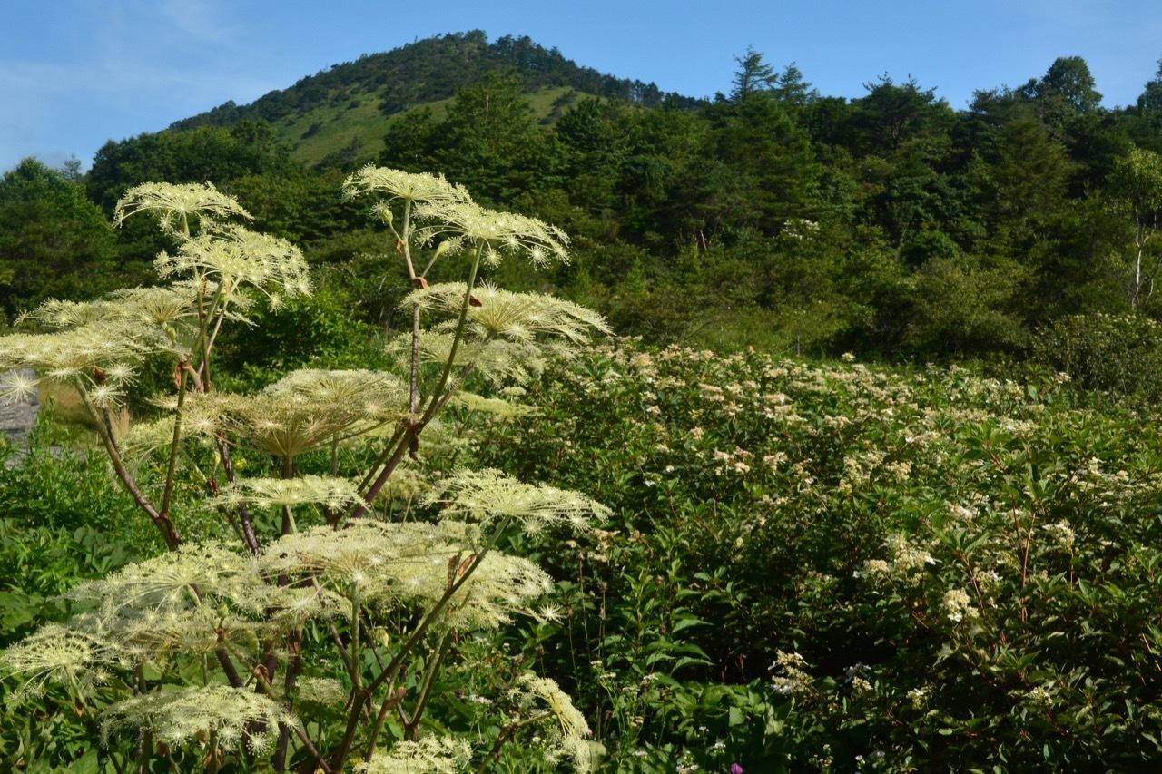 我が家の花たち・そして八島湿原の花たち_e0099737_21501837.jpg
