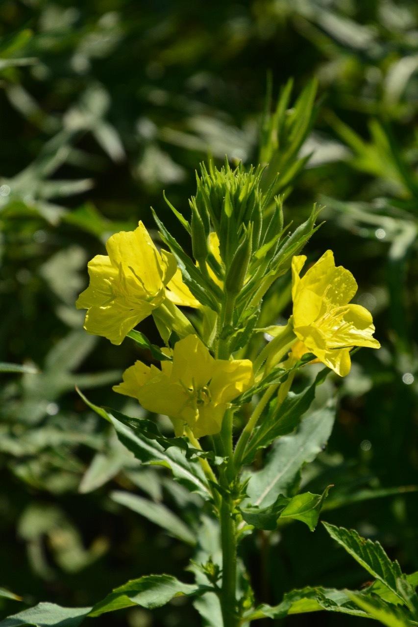 我が家の花たち・そして八島湿原の花たち_e0099737_21562346.jpg