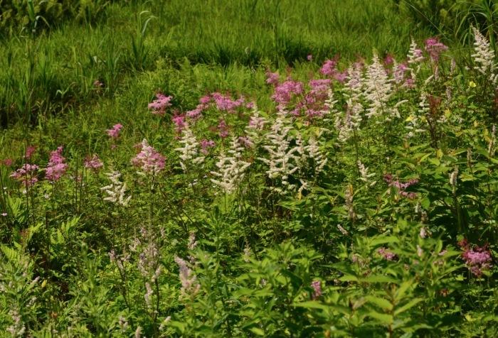 我が家の花たち・そして八島湿原の花たち_e0099737_21564681.jpg