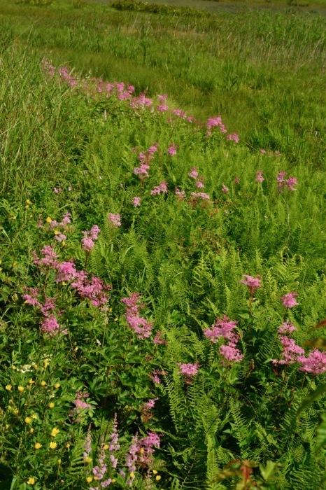 我が家の花たち・そして八島湿原の花たち_e0099737_21570035.jpg