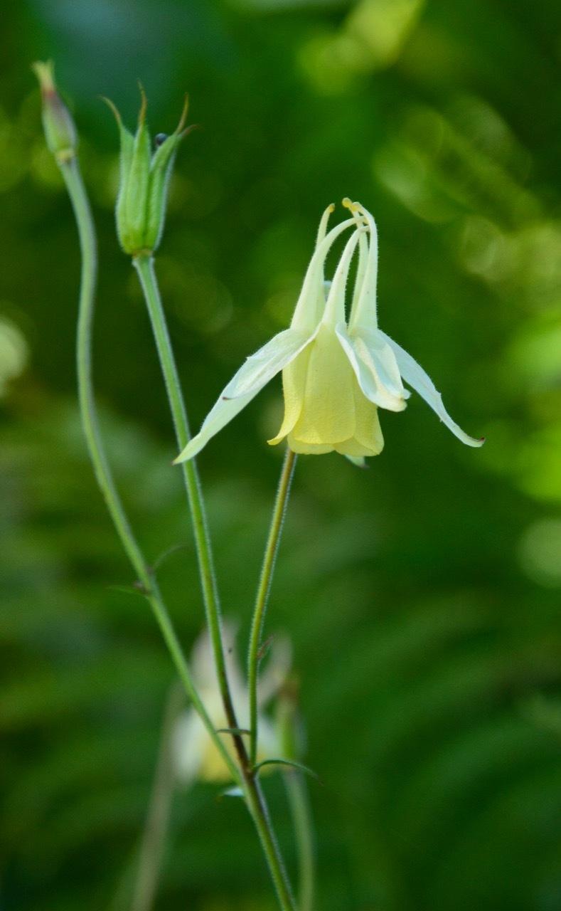 我が家の花たち・そして八島湿原の花たち_e0099737_21580884.jpg