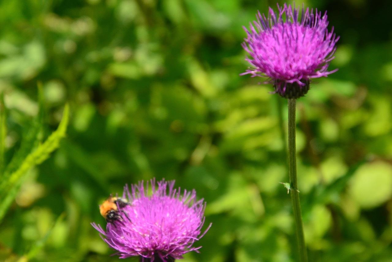 我が家の花たち・そして八島湿原の花たち_e0099737_21582298.jpg