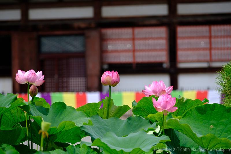 東寺の蓮_b0325840_22400291.jpg