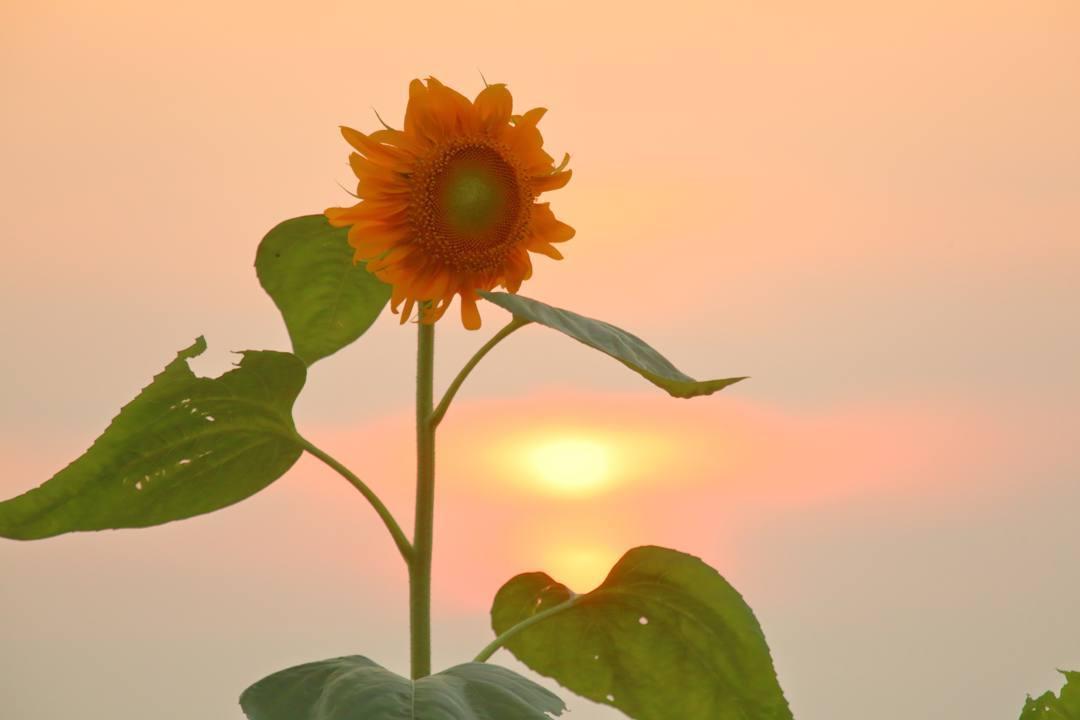夕焼けと向日葵_e0403850_21025466.jpg