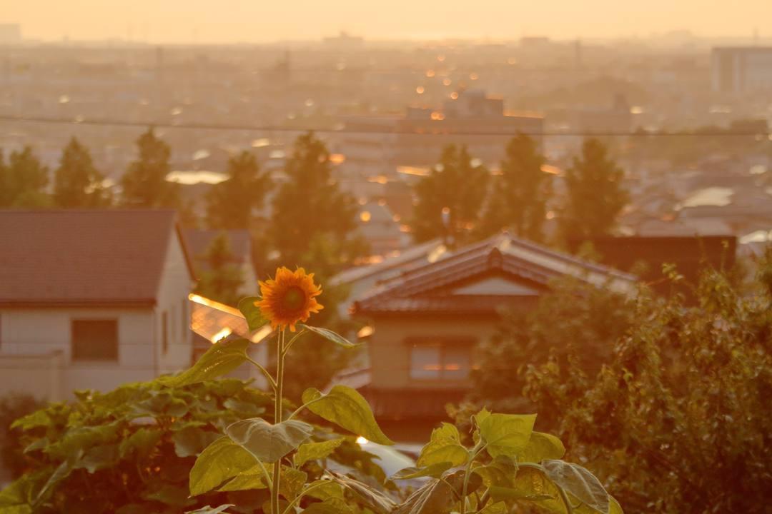 夕焼けと向日葵_e0403850_21030581.jpg